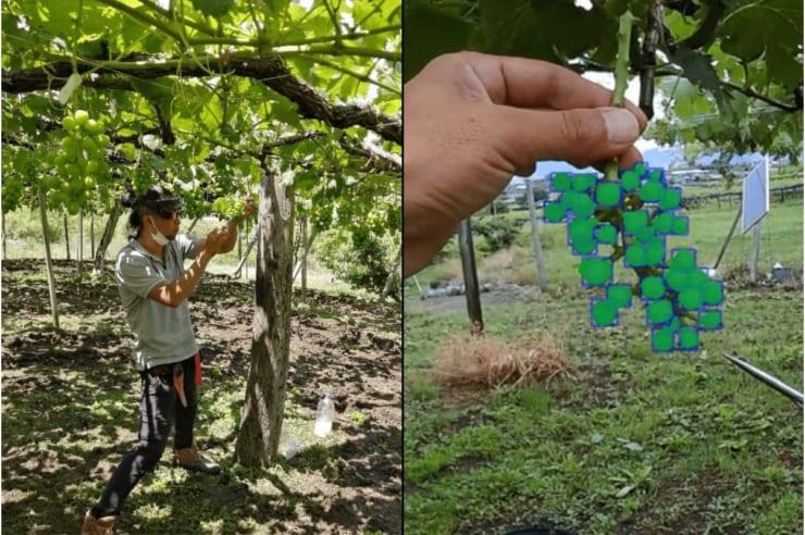 「ぶどうの粒いくつある?」を自動判定するAI来夏実用化へ〜山梨大学と農業生産法人が共同開発   DG Lab Haus